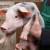 Poljaci odustaju od svinjogojstva - najviše mali uzgajivači