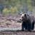 Obustavlja se lov medvjeda: Ostvarena planirana kvota redovnog odstrjela