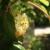 Uskoro kreće bubrenje pupoljaka kod kivija, na šta voćari da obrate pažnju?