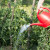 Revni, a neiskusni: Napumpaju hladnu vodu u kantu s ružom i s visine poškrope - sve