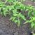 Presađivanje paprike na otvoreno - odradite i zaštitu na bazi bakra