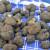 Sakupljanje tartufa: U šumu ne ići bez vunenih čarapa i torbe