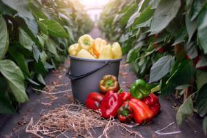 Paprika u plasteniku - kako je navodnjavati, prihranjivati i zaštititi