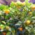 Uzgoj voća u posudama - na balkonu ili terasi