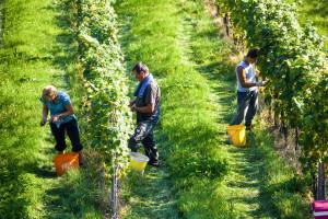 Vinogradari zadovoljni kvalitetom i rodom grožđa