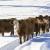 Ekstremna hladnoća: Umire im stoka, a mleko moraju da bacaju