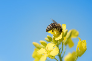 EFSA objavila najnoviji izveštaj o smrtnosti oprašivača prouzrokovanoj pesticidima