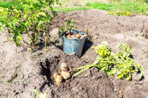 Uočite li krumpirovog moljca - vadite gomolj čim dođe do propadanja cime
