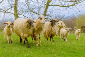 Čime i kako treba hraniti jagnjad u tovu