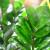 Zamija - jednostavna za uzgoj, otporna i elegantna