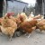 Obogatite ishranu živine belim lukom, nevenom i kantarionom