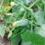 Kako uzgojiti krastavce na balama slame?