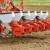 Na pragu sjetve suncokreta: Dobri predusjevi su strnjine i kukuruz