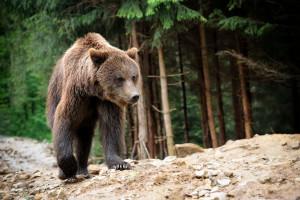 Dramatična borba kod Vratnika: Božu Nekića od napada medvjeda spasili njegovi psi