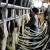 Održavanje mašine za mužu krava
