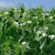 Bliži se sjetva stočnog graška - ne traži velika ulaganja, a obogaćuje tlo azotom