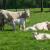 Pasmina Uckermärker sve popularnija u uzgoju krava - tele