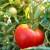 Sadašnja cena paradajza 40 dinara, proizvođači očekuju i 60 din/kg