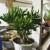 Zaštita sobnih biljaka tijekom zime - suhi zrak potiče grinje, folija dezorijentira tripsa