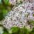 Za uspešno cvetanje jorgovana, obazrivo sa đubrenjem azotom