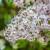 Za uspješno cvjetanje jorgovana, obazrivo sa đubrenjem azotom