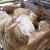 Krađa ovaca: Stočari se bore kodiranim bojama i uređajima za praćenje