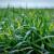 Ratari oprez: Toplo vrijeme pogoduje gljivicama na oziminama - pregledavajte usjeve
