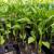 Polijeganje rasada i trulež korjenovog vrata: Najveće prijetnje mladim presadnicama povrća