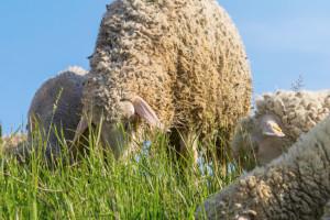 Zračna luka u Bruxellesu angažirala ovce umjesto kosilica za travu