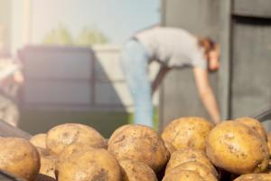 EK zabranjuje klorprofam - sredstvo koje sprječava klijanje krumpira