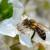 Europske medonosne pčele ugrožavaju australske autohtone?