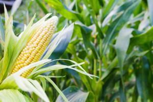 Kako suzbiti kukuruznu zlaticu