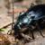 Trčuljci su većinom korisni insekti, ali žitni bauljar pravi štete