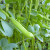 Rano proljeće idealno za sjetvu boba - drevnog povrća Mediterana