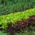 Koje su biljke dobre, a koje loše komšije u bašti?