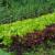 Koje su biljke dobri, a koje loši susjedi u vrtu?