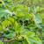 Rajsko voće smokva odlično uspijeva i na kontinentu - kako ju uzgojiti?