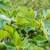 Kako uspješno uzgojiti smokvu u dvorištvu i na okućnici?