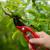 Zašto je važna zelena rezidba jabuke