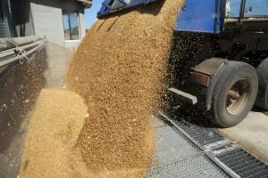 Loš kvalitet pšenice - očekuju se jače kontrole