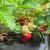 Ilegalno navodnjavanje jagoda uništava jednu od najvažnijih močvara Evrope