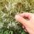 Covid-19 liječe slatkim pelinom? WHO odmah reagirao