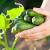 Visoke temperature uzrokuju gorke plodove krastavca, šta se može učiniti?