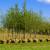 Najmanje pošumljena opština u Vojvodini dobija sadnice listopadnog drveća