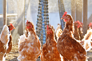 Ptičji grip ne jenjava: U Poljskoj eutanazirano više od 900.000 koka nosilja