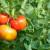 Zašto se uvija list rajčice i što poduzeti