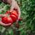 Šta savjetuje Guinnessov rekorder u uzgoju najvišeg paradajza?