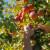 Enes Kobašlić vatrom grijao voćke, ali ipak bilježi dobar urod kasnih sorti