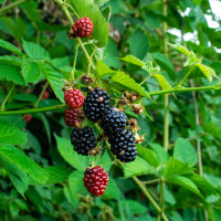 Loch ness - sorta kupine odličnog prinosa i otporna na bolesti
