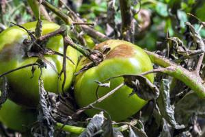 Plamenjača je najčešća bolest rajčice: Kako zaštititi biljke?